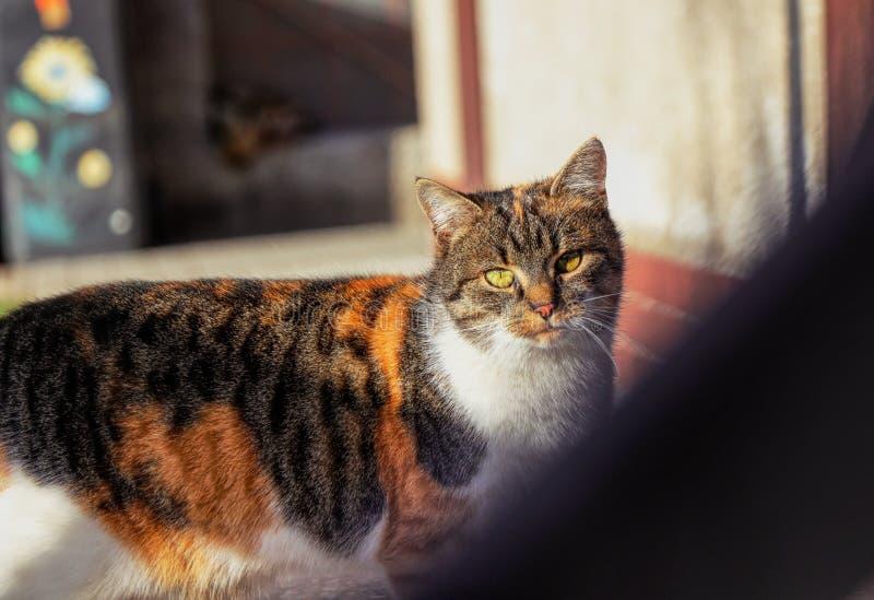 Ένα όμορφο εσωτερικό γατάκι που κοιτάζει σε με μέσω του ξύλινου φράκτη και που προσέχει τι εγώ έκανε Ζωηρόχρωμη γούνα με τα πράσι στοκ εικόνα
