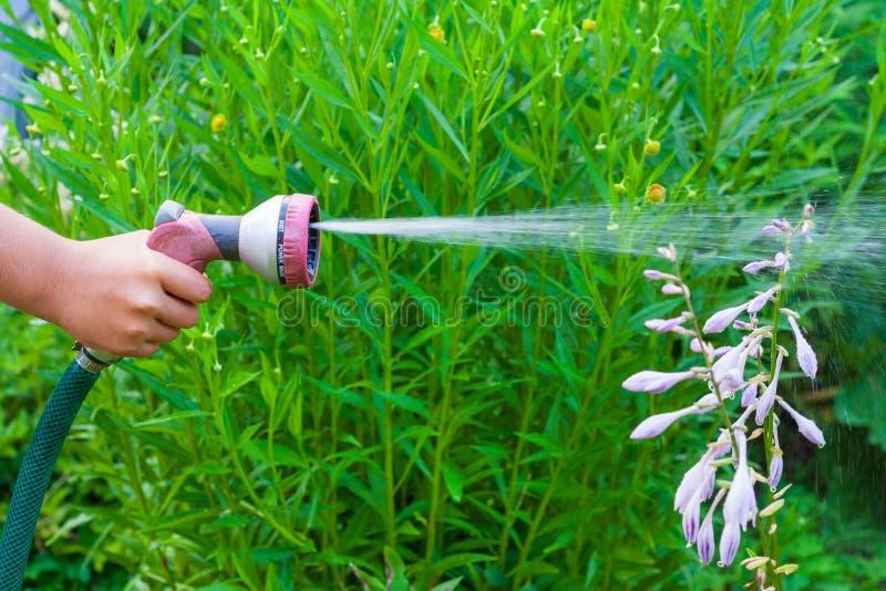 Ένα χέρι παιδιών με έναν ψεκαστήρα, που ποτίζει ένα hosta φυτεύει τα λουλούδια στον κήπο στοκ εικόνες