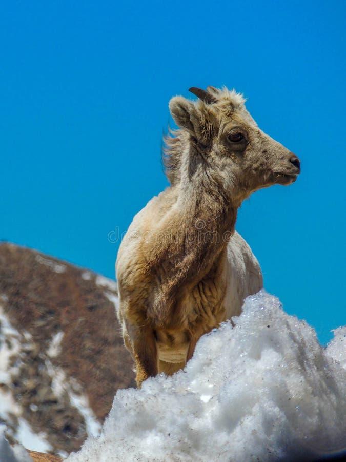 Αίγα βουνών του Κολοράντο στην κορυφή στοκ φωτογραφίες