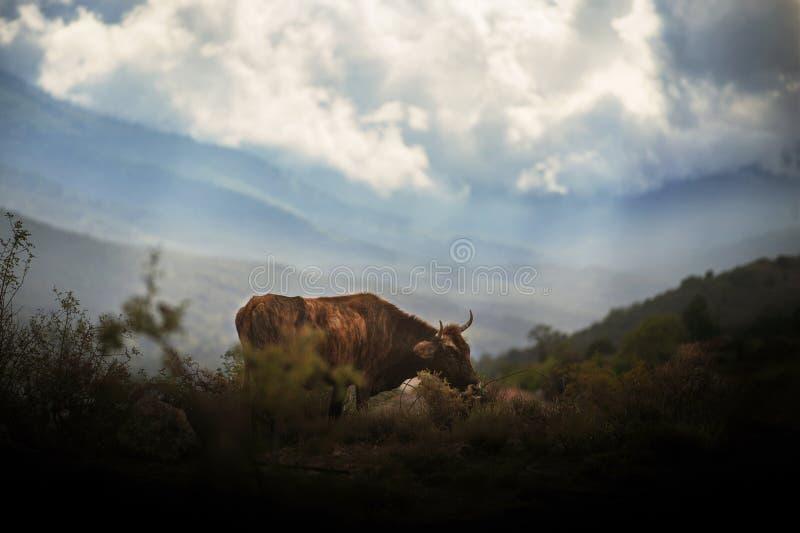 Αγελάδα που στέκεται στο λιβάδι με τα βουνά στο υπόβαθρο στοκ φωτογραφίες