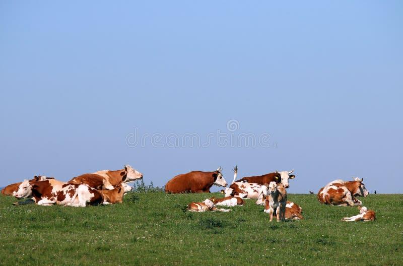 Αγελάδες και μόσχοι στο λιβάδι στοκ εικόνα