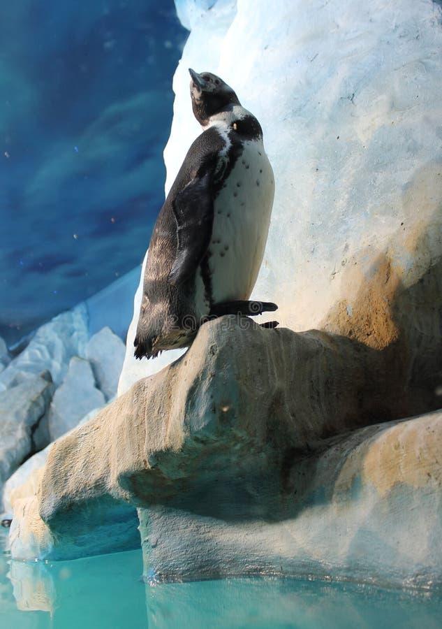 Αιχμάλωτος Penguin σε έναν αστικό ζωολογικό κήπο στοκ εικόνα με δικαίωμα ελεύθερης χρήσης