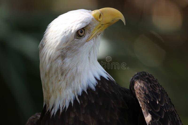 αμερικανικός φαλακρός αετός εθνικές ΗΠΑ πουλιών στοκ φωτογραφία