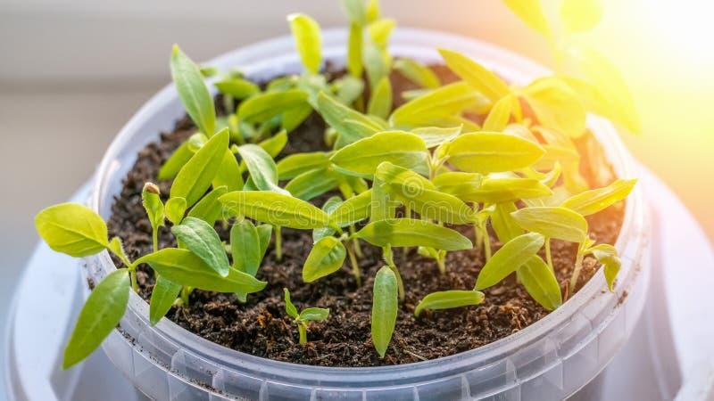 Ανάπτυξη των σποροφύτων των ντοματών και των πιπεριών στο windowsill στα πλαστικά δοχεία Ανακύκλωση και πλαστικό ανακύκλωσης στοκ φωτογραφίες με δικαίωμα ελεύθερης χρήσης