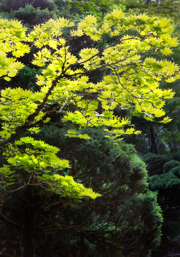 Αναδρομικά φωτισμένος θόλος φύλλων δέντρων πέρα από το δασικό πάτωμα στοκ εικόνες με δικαίωμα ελεύθερης χρήσης