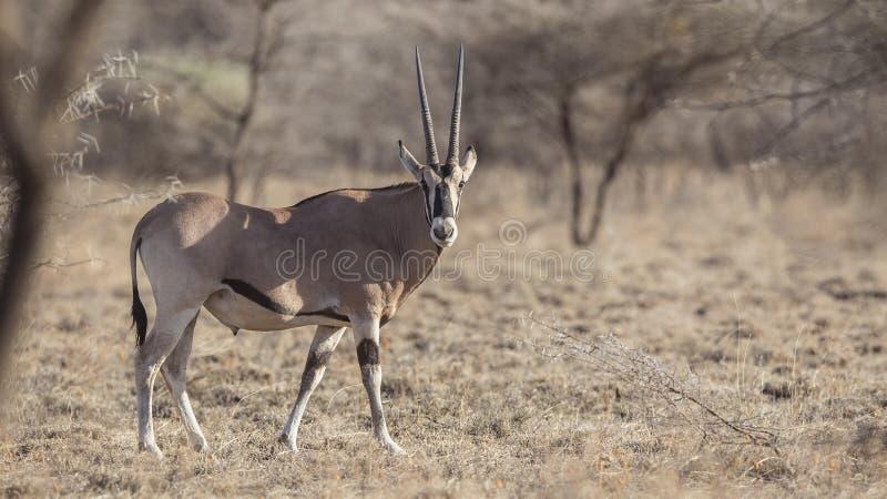 Ανατολή αφρικανικό Oryx στη φύση στοκ εικόνες