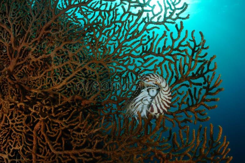 Ανεμιστήρας Nautilus και θάλασσας στοκ εικόνες