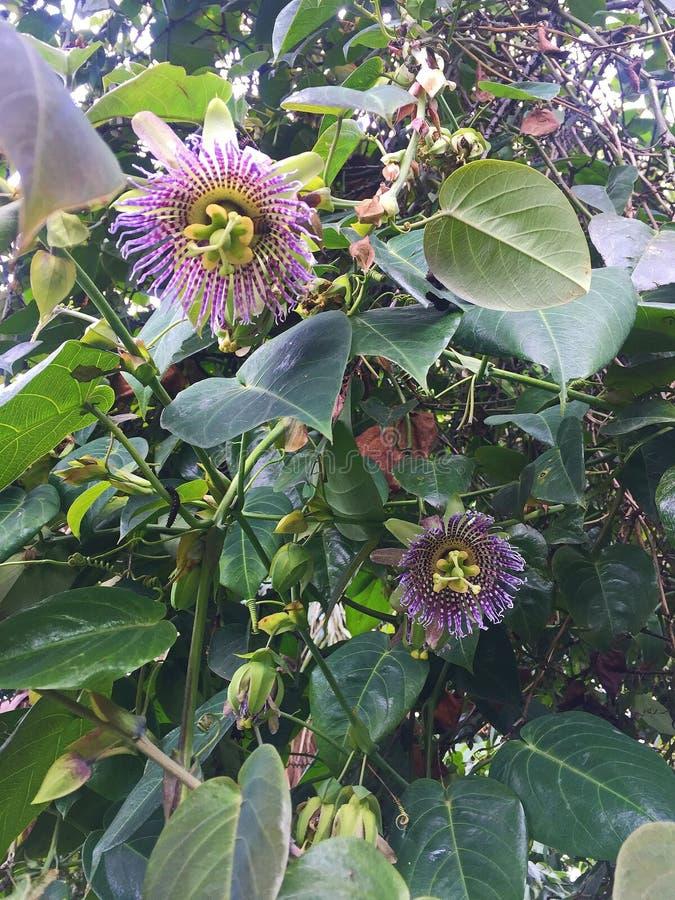 Ανθίζοντας άγριες πορφυρές άμπελοι Passionflower στο δάσος στοκ εικόνες