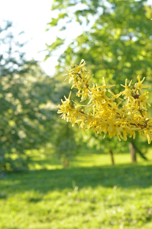 Ανθίζοντας λουλούδια του forsythia Φυσικό ηλιόλουστο floral υπόβαθρο άνοιξη και πράσινα δέντρα στοκ φωτογραφία με δικαίωμα ελεύθερης χρήσης