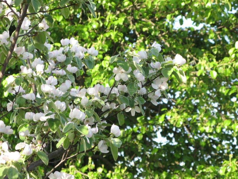 Ανθίζοντας δέντρο κυδωνιών στοκ φωτογραφία