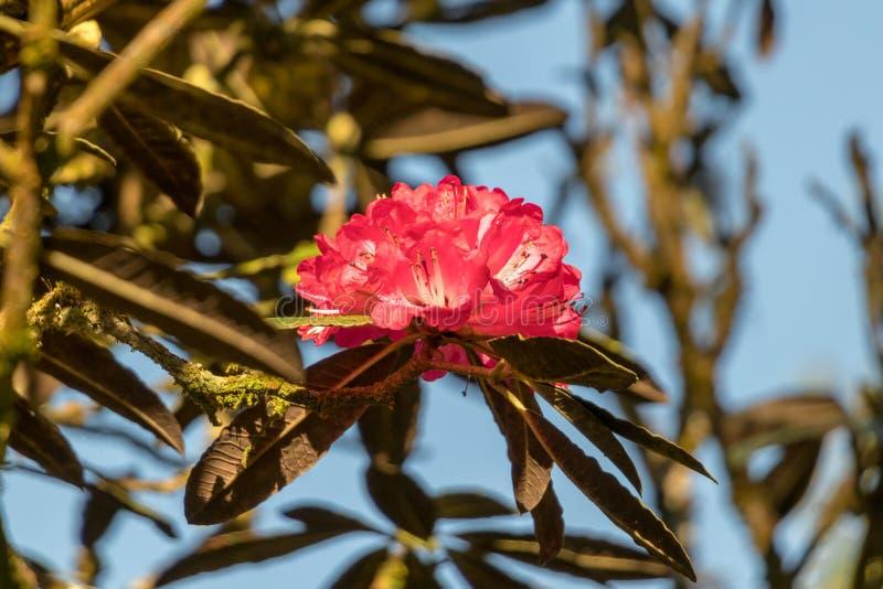 Ανθίζοντας Rhododendron Arboreum στο κρύο καιρό στοκ φωτογραφία