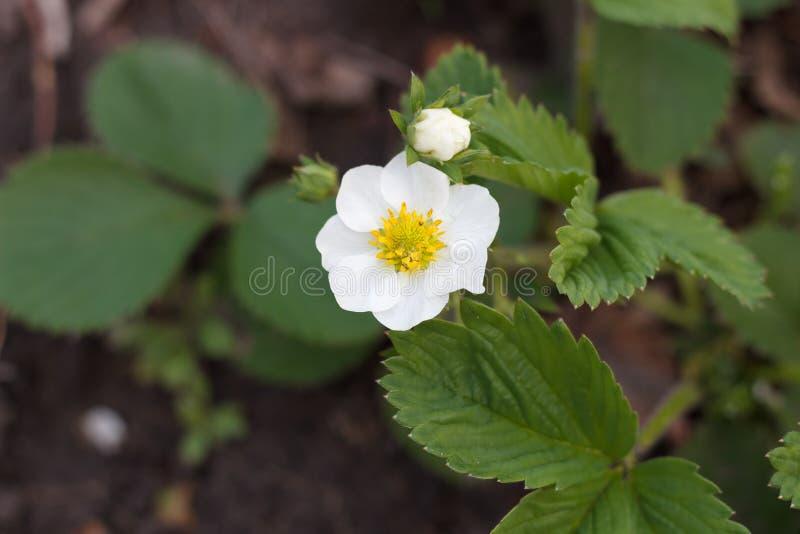 Ανθίσεις θάμνων φραουλών με τα άσπρα λουλούδια την άνοιξη στοκ εικόνα
