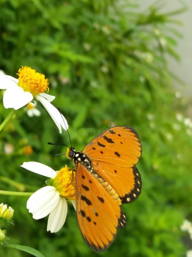 Ανώνυμη πεταλούδα στοκ εικόνες