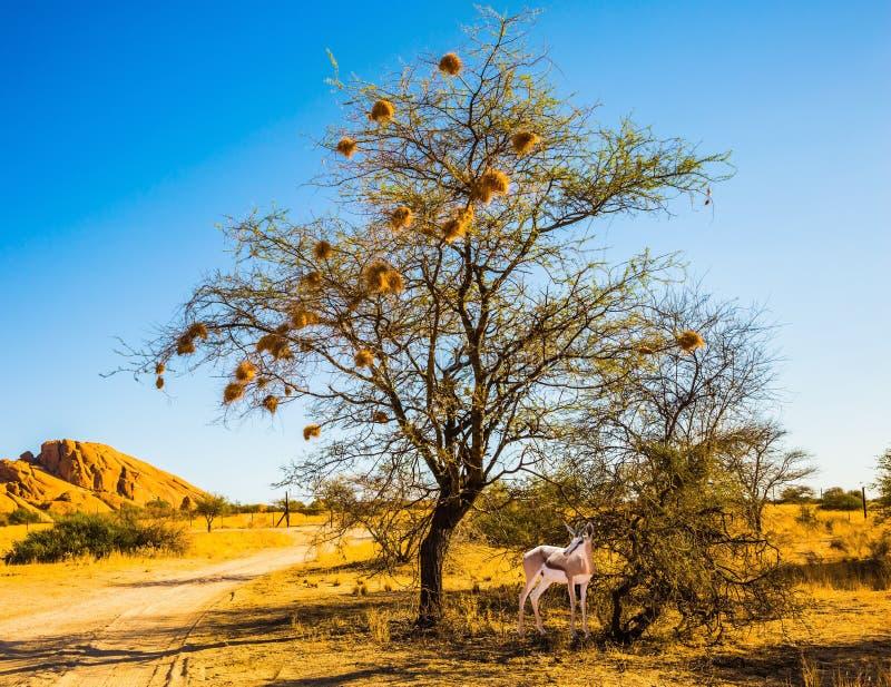 Αντιλόπη κοντά σε ένα δέντρο με τις φωλιές του πουλιού στοκ φωτογραφία