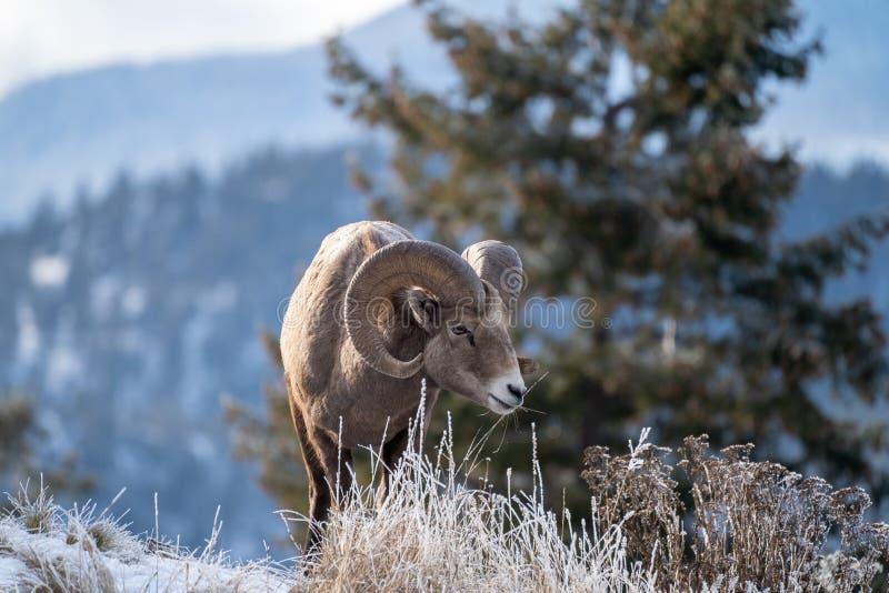 Αρσενικά πρόβατα bighorn κριού που στέκονται στην άκρη ενός απότομου βράχου με τις παγωμένες χειμερινές χλόες στοκ φωτογραφία με δικαίωμα ελεύθερης χρήσης