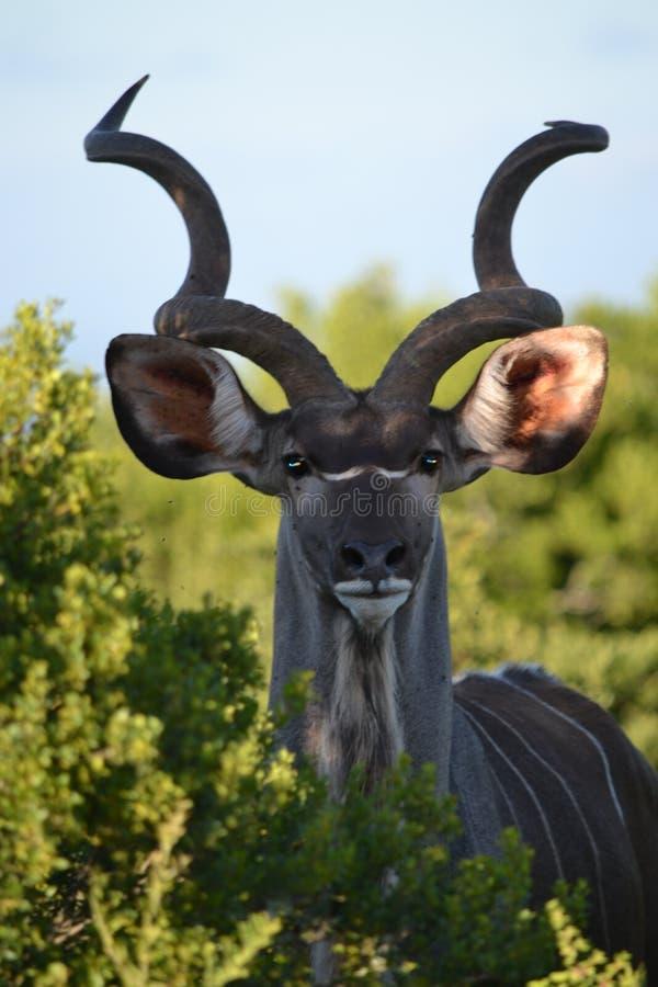 Αρσενικό Kudu στο θάμνο στοκ εικόνα