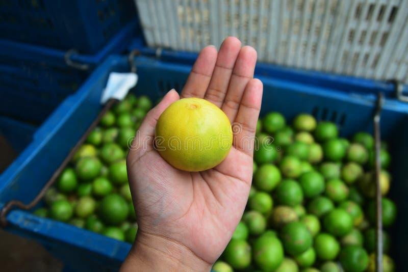 Ασβέστες φρεσκάδας σε διαθεσιμότητα, πράσινο λεμόνι στοκ εικόνες με δικαίωμα ελεύθερης χρήσης