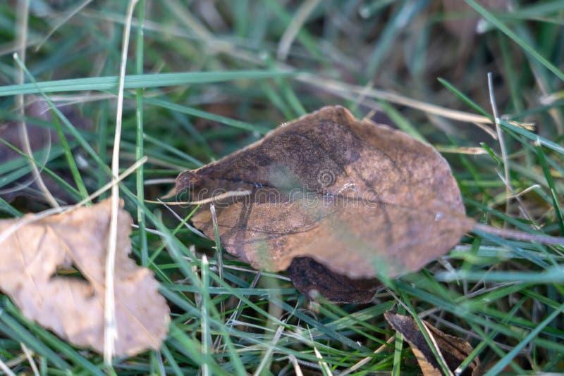Ασημένια φλεβώδη νεκρά φύλλα στη χλόη στοκ φωτογραφίες