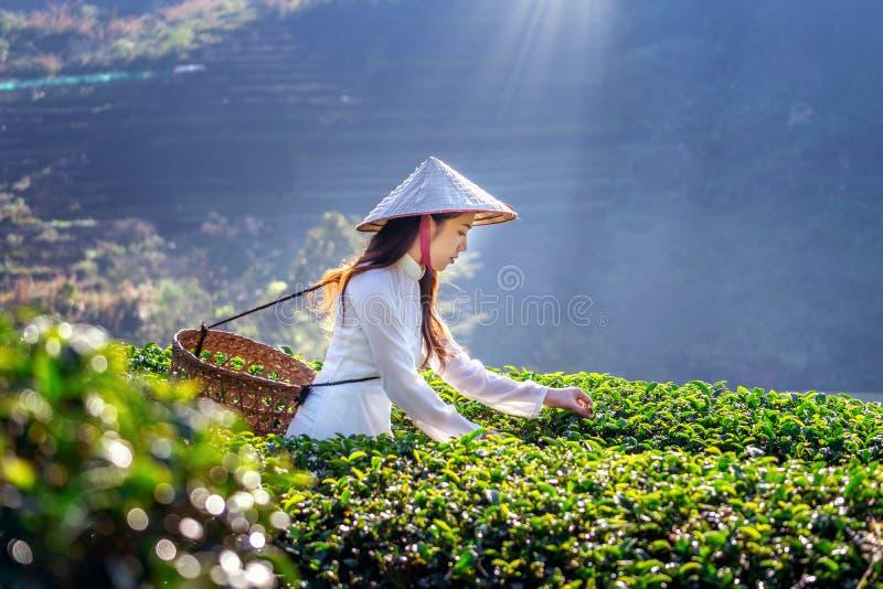 Ασιατική γυναίκα που φορά τον πολιτισμό του Βιετνάμ παραδοσιακό στον πράσινο τομέα τσαγιού στοκ φωτογραφία