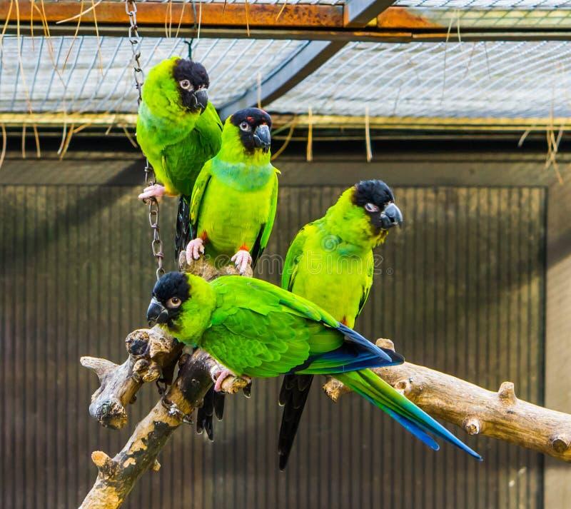 Αστεία ομάδα συνεδρίασης Nanday parakeets μαζί σε έναν κλάδο στο κλουβί, δημοφιλή τροπικά κατοικίδια ζώα από την Αμερική στοκ φωτογραφία με δικαίωμα ελεύθερης χρήσης