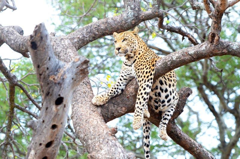 Αφρικανική λεοπάρδαλη, Panthera Pardus, που στηρίζεται σε ένα δέντρο Εθνικό πάρκο Kruger, Νότια Αφρική στοκ εικόνα
