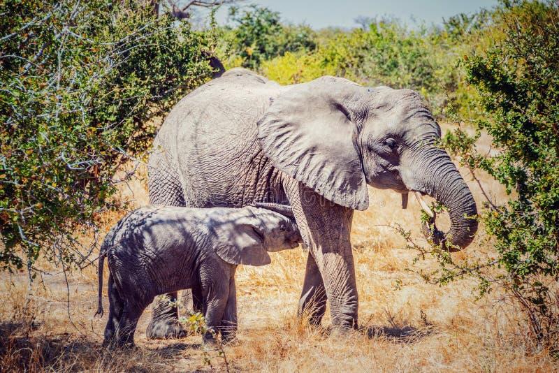 Αφρικανικός ελέφαντας mom και μωρών στοκ εικόνες