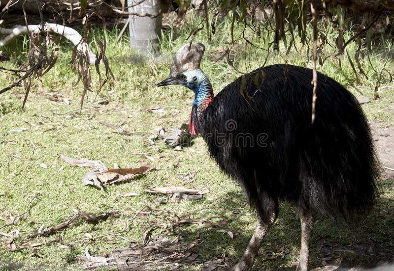 αυστραλιανό κασουάριο στοκ φωτογραφία