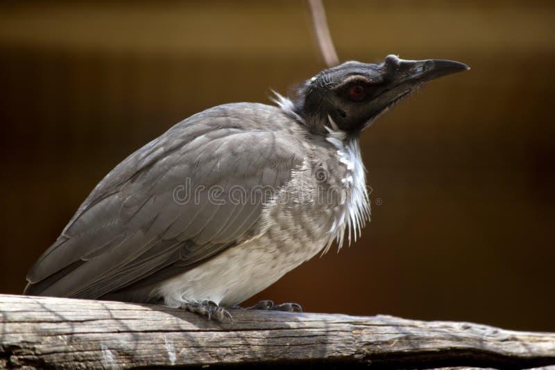 Αυτό είναι στενό ένα επάνω ενός θορυβώδους friar πουλιού στοκ φωτογραφία
