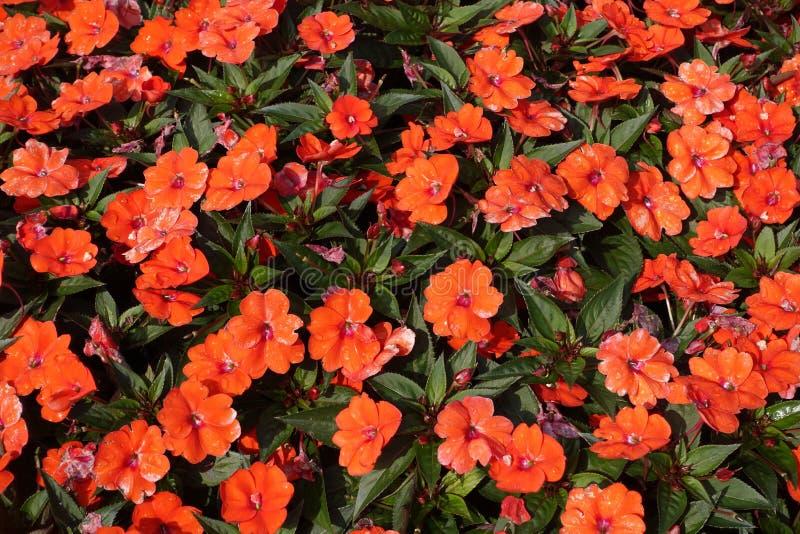 απασχολημένο lizzie Πορτοκαλί walleriana Impatiens θερινών λουλουδιών στοκ φωτογραφίες