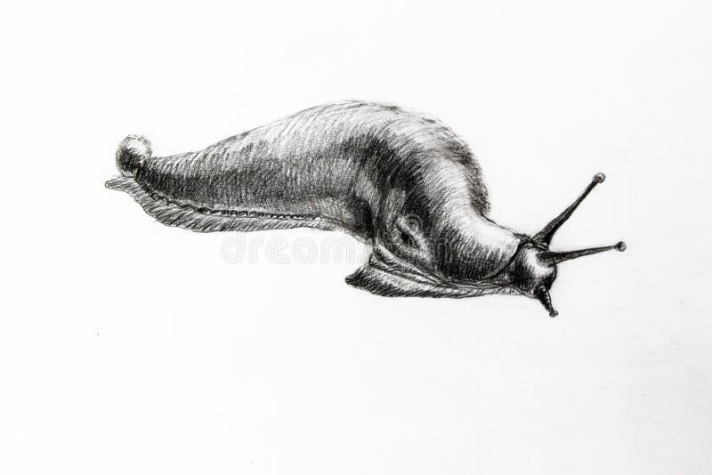 Απεικονισμένο από γραφίτη μολύβι γυμνοσαλιάγκων σε ένα άσπρο υπόβαθρο διανυσματική απεικόνιση