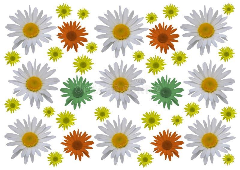 Απομονωμένα λουλούδια μαργαριτών με ένα άσπρο υπόβαθρο στοκ φωτογραφίες