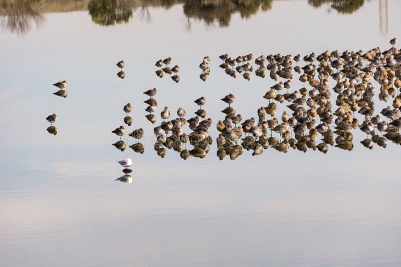 Αποδημητικά πτηνά που στηρίζονται στις λίμνες του κόλπου του ανατολικού Σαν Φρανσίσκο, Hayward, Καλιφόρνια στοκ φωτογραφίες με δικαίωμα ελεύθερης χρήσης