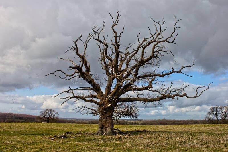 Απόμερο νεκρό δέντρο σε έναν ευρύ τομέα στη νότια Αγγλία στοκ φωτογραφία με δικαίωμα ελεύθερης χρήσης