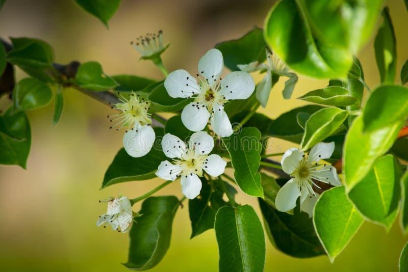 Î'lmond blossom royalty free stock photo