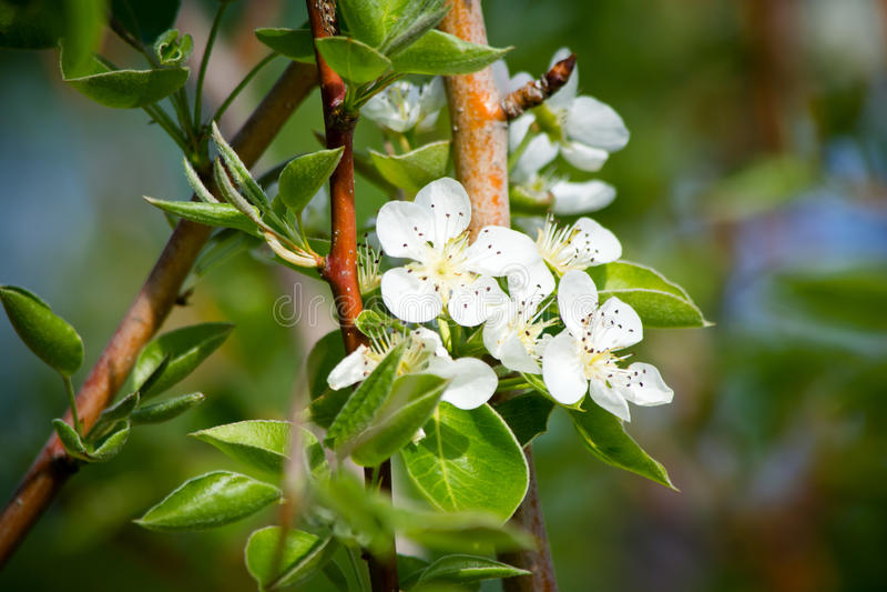 Î'lmond blossom stock images