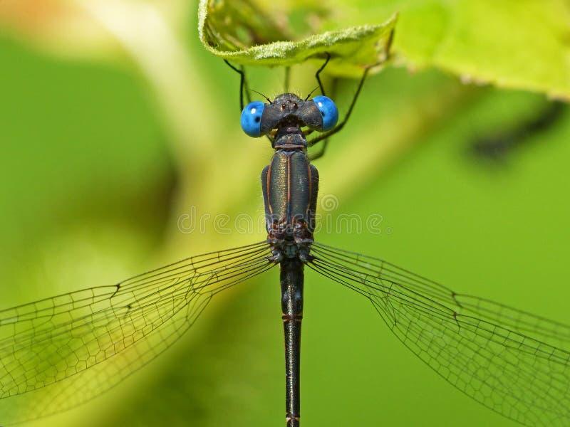 Βαθύ μπλε-eyed Damselfly στο πράσινο φύλλο 2 στοκ εικόνες