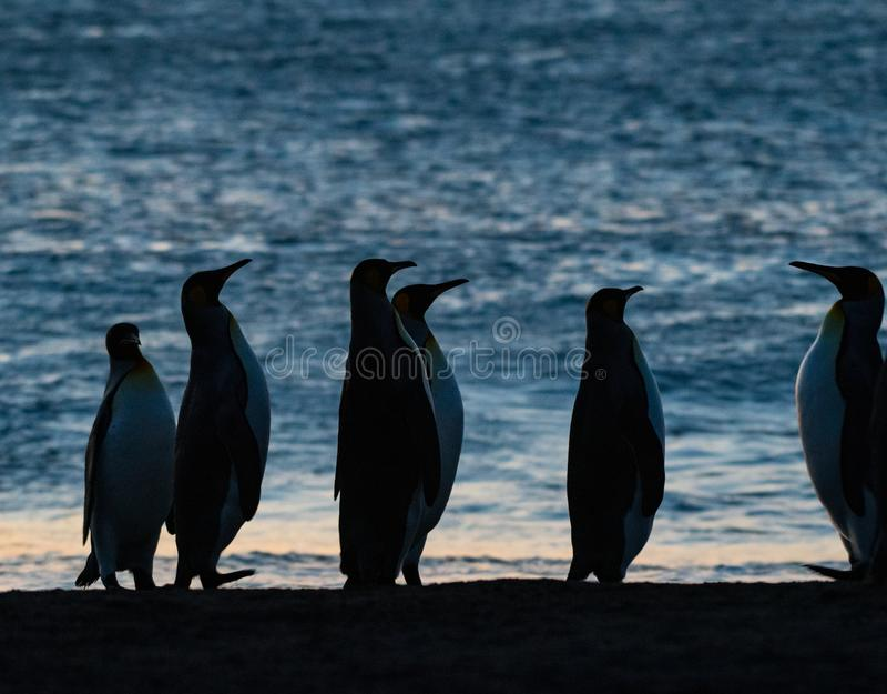 Βασιλιάς penguins που προσέχει την άνοδο ήλιων στοκ εικόνα με δικαίωμα ελεύθερης χρήσης