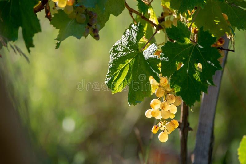 Βιο αμπελώνας σταφυλιών κρασιού οινοποιιών άσπρος στην Προβηγκία, νότος της Γαλλίας στοκ φωτογραφία
