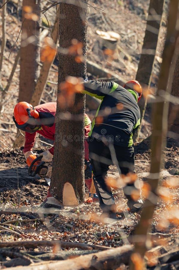 Βλασταημένος μέσω των κλάδων δύο εργαζόμενοι δασονομίας που περιορίζουν ένα δέντρο που χρησιμοποιεί το αλυσιδοπρίονο στοκ φωτογραφία με δικαίωμα ελεύθερης χρήσης