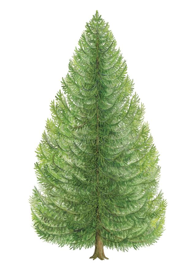 Βοτανική απεικόνιση ενός δέντρου Picea ερυθρελατών της Νορβηγίας του έλατου ελεύθερη απεικόνιση δικαιώματος