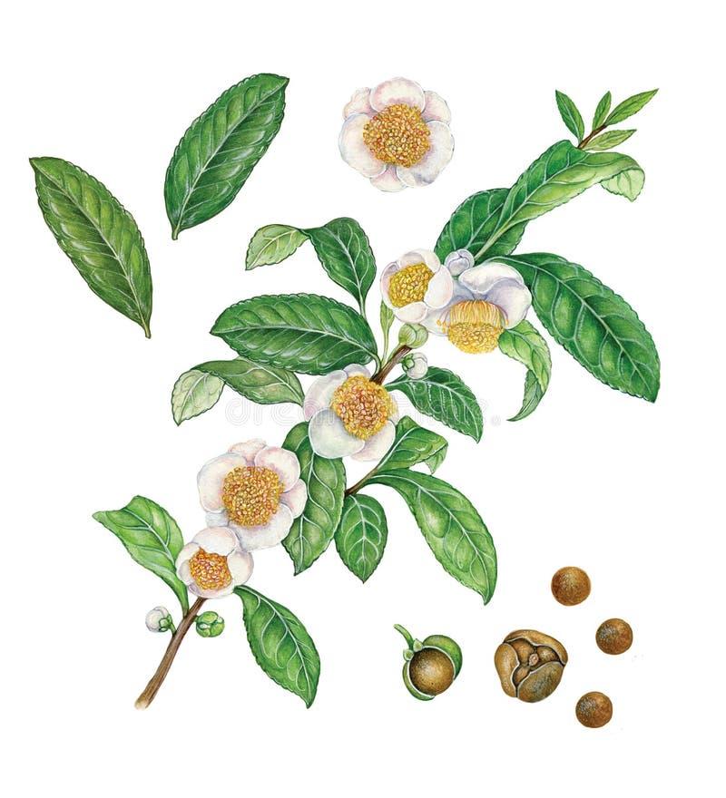 Βοτανική απεικόνιση του φυτού, των λουλουδιών, των φύλλων και των σπόρων τσαγιού απεικόνιση αποθεμάτων