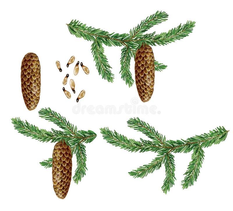 Βοτανική απεικόνιση Picea ερυθρελατών της Νορβηγίας του έλατου απεικόνιση αποθεμάτων