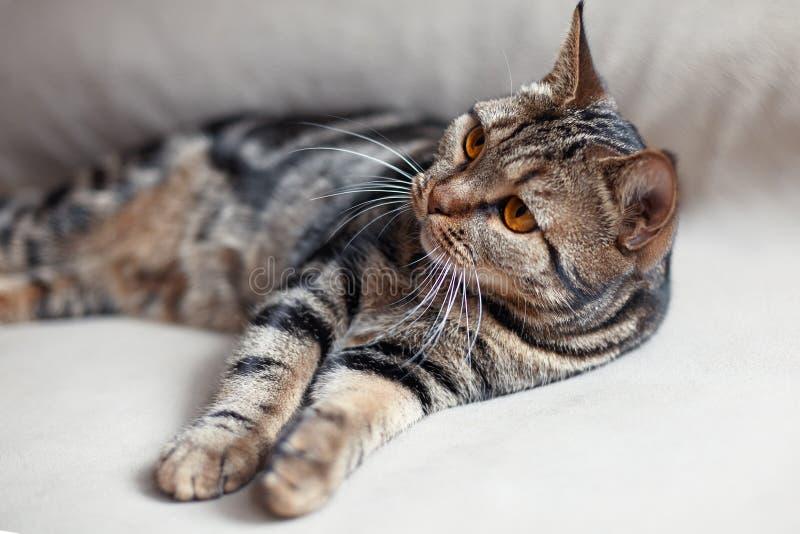 Βρετανική κοντή γάτα τρίχας με τα φωτεινά κίτρινα lais ματιών στα μπεζ κλίνοντας πόδια καναπέδων προς το θεατή στοκ φωτογραφία με δικαίωμα ελεύθερης χρήσης