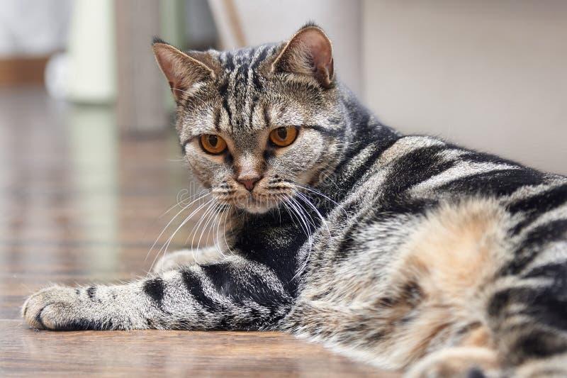 Βρετανική κοντή γάτα τρίχας με τα φωτεινά κίτρινα lais ματιών στο πάτωμα Γάτα χρώματος Ñ  Ute Tebby στο σπίτι στοκ φωτογραφίες με δικαίωμα ελεύθερης χρήσης