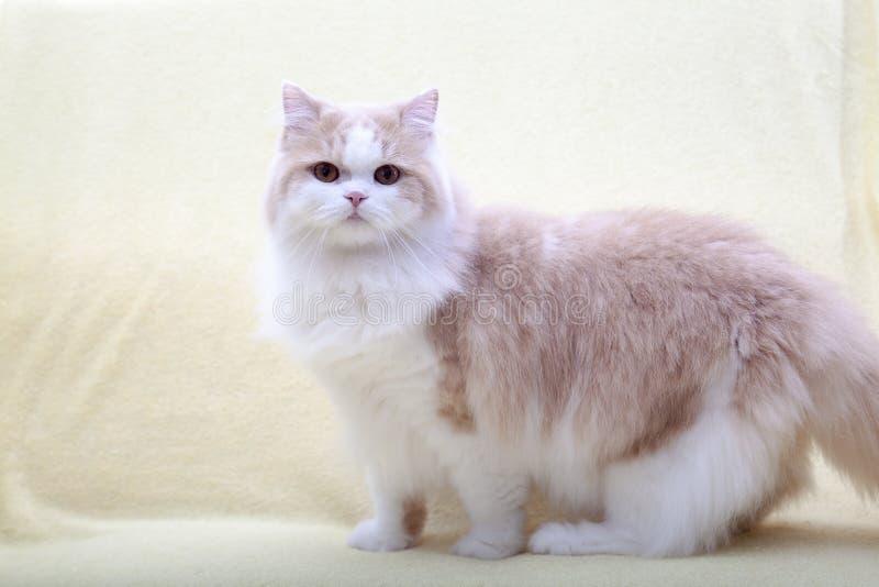 Γάτα που βρίσκεται στο σπίτι με το συμπαθητικό χρώμα υποβάθρου στοκ φωτογραφίες