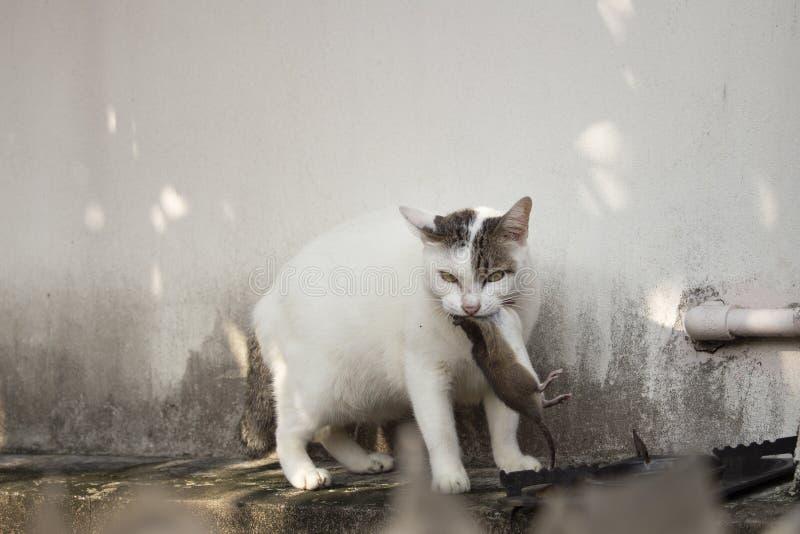 Γάτα που φέρνει το μικρό αρουραίο τρωκτικών στο roog, άσπρη γάτα που πιάνει ένα mous στοκ φωτογραφίες με δικαίωμα ελεύθερης χρήσης