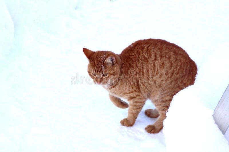 Γατάκι πιπεροριζών που διαφαίνεται από πίσω από snowdrift στοκ φωτογραφία με δικαίωμα ελεύθερης χρήσης