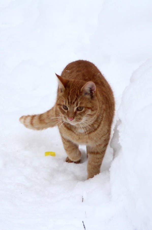 Γατάκι πιπεροριζών που περπατά στο χιόνι στοκ φωτογραφία