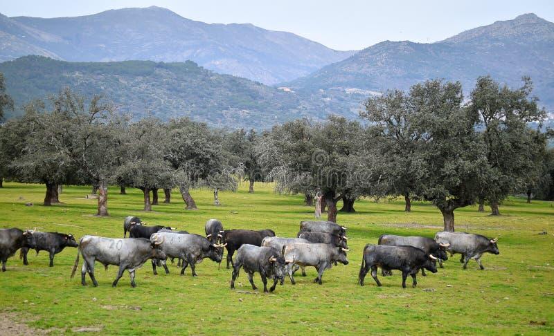 Γενναίος ταύρος στον τομέα με τα μεγάλα κέρατα στοκ εικόνες