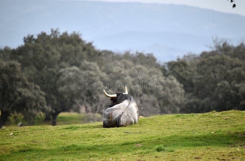 Γενναίος ταύρος στον τομέα με τα μεγάλα κέρατα στοκ φωτογραφία με δικαίωμα ελεύθερης χρήσης